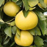Citrus Trees You Can Grow: Follow this guide to understand the many interesting varieties of citrus. By Matt Smith