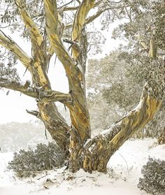 Snow Gums in winter Australian Plants, Forest Path, Snowy Mountains, Photo Tree, Winter Wonder, Amazing Nature, Mother Earth, Trees To Plant, Beautiful World