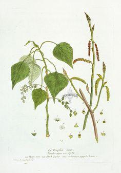 Black Poplar Nicholas Francois Regnault
