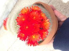 Parodia Sanguiniflora