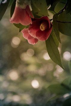 Japanese camellia 椿