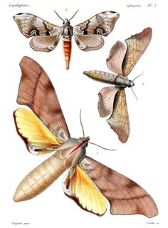 Coequosa australasiae, Daphnusa ailanti, Marumba gaschkewitschii.    Poujade,  from Histoire naturelle des insectes (Natural history of insects), atlas to volumes 5, 6, 7, by Jean-Baptiste Boisduval and Achille Guénée, Paris, 1836-1858.     (Source: archive.org)
