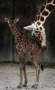 Baby and Momma Giraffes at the Memphis Zoo