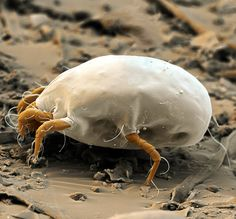 Coloured scanning electron micrograph of a house dust mite