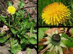 Paardenbloem - Taraxacum officinale. - Foto gemaakt door pinterester Adri v.d.S - Bord Wilde Gele bloemen - Yellow wildflowers