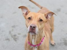 TO BE DESTROYED 05/05/17**AVERAGE RATED!**name is PETUNIA. My Animal ID # is A1109404. I am a female tan am pit bull ter mix. The shelter thinks I am about 5 YEARS old.  I came in the shelter as a STRAY on 04/19/2017 from NY 11203, owner surrender reason stated was STRAY.