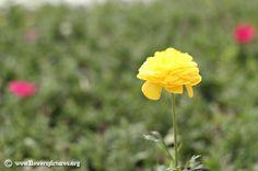 Persian buttercup (1) Flower Colors, Colorful Flowers, Flower Pictures, Some Pictures, Persian Buttercup, Plants, Image, Flower Photos, Plant