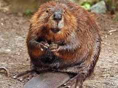 New Jersey: Fight Back Against Beaver Trapping ! PLEASE SIGN... - Care2 News Network