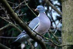 Ringduva, Columba palumbus - Fåglar - NatureGate
