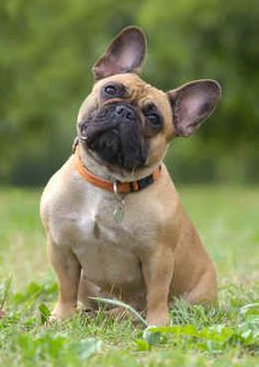 The major breeds of bulldogs are English bulldog, American bulldog, and French bulldog. The bulldog has a broad shoulder which matches with the head. French Bulldog Adult, Merle French Bulldog, French Bulldog Facts, Cute French Bulldog, French Bulldog Puppies, Dogs And Puppies, French Bulldogs, French Bulldog Full Grown, Doggies
