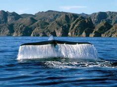 Ballena azul, Loreto, Baja California Sur.