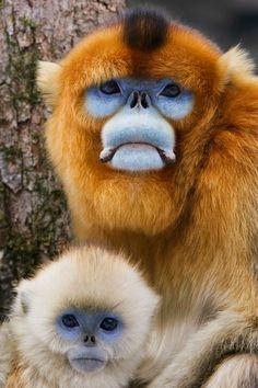 ** Golden Monkeys by Jeremy Woodhouse