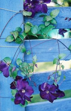 Purple clematis vine meandering over a country blue fence.