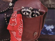 Baby raccoons in a pouch
