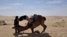 This is the hilarious moment a man on camel plummets head first into sand after a slight wobble in an Algerian desert.