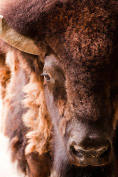 American Bison by Evan Animals