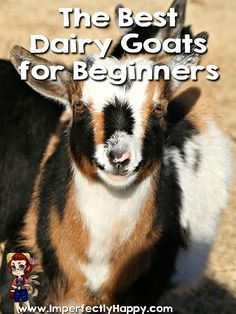 Best Dairy Goats for Beginners  ImperfectlyHappy.com