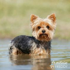 pet dogs desenho Dogs - Lovely Pets World Yorky Terrier, Yorshire Terrier, Yorkies, Yorkie Puppy, Pet Dogs, Dog Cat, Pets, Cute Puppies, Dogs And Puppies