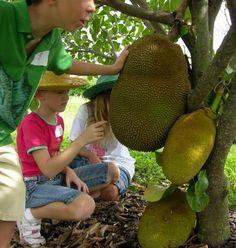 Tanaman Nangka Mini (Dwarf Jackfruit)