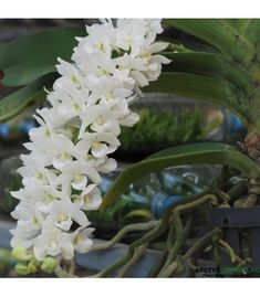 Buy orchid - AmThai Orchids Online - New orchid hybrids White Orchids, Borneo, Roots, Bloom, Flowers, Plant, Royal Icing Flowers, Flower