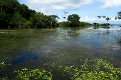 Lago na Floresta Nacional do Tapajós, com muita vegetação aquática e águas claras. Foto: Renato Silvano