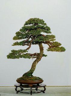 Kokufu Bonsai.   kazematsu bonsai