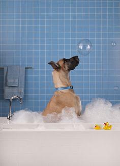 bathing... #GreatDane #dogs