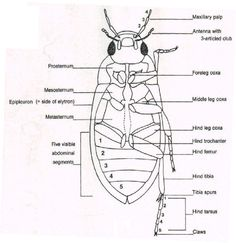 External Anatomy of a Beetle   Anatomical Illustration   Pinterest ...