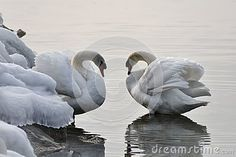 The swan is a large aquatic bird closely related to geese and ducks. The swan is known for it`s fierce temperament. he swan is found on both sides of the Equator across the Northern and Southern Hemispheres. The northern swan is generally white in colour with an orange beak as seen in the picture. Aquatic Birds, Stock Foto, Ducks, Swan, Southern, Colour, Orange, Pictures, Animals