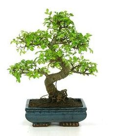 https://cdn.jardinitis.com/productos/plantas-y-semillas/plantes/bonsais/bonsais/bonsai-zelkova-parviflora-olmo/image_1_large