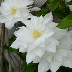 "Luxurious, 4-5"" white flowers grace this vine twice in the season."