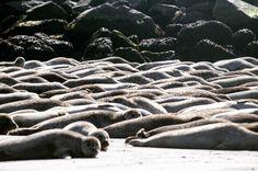 Wochenende. Machs wie die #Robben: Zeit zum chillen. :-) #kegelrobbe #robbe #seehund #Nordsee #Helgoland #nature #animals #wildlife #wildlifephotography #tiere