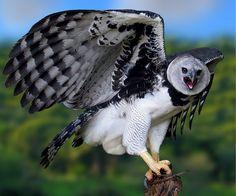 The National Bird of Panama, the Harpy Eagle.