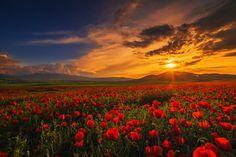 Red May - Kyrgyzstan, Chuy Province, flowering poppies.