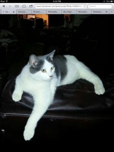 Missing White and Grey cat from Canyon Country - Missing white and gray male cat he has a white star on his back and a broken tail he is afraid of strangers and may be hiding in a shed or yard $300 reward  please call 661-251-3351  canyon country near Pinetree school
