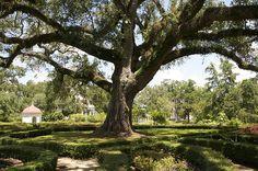 Oaktree - Rosedown Plantation