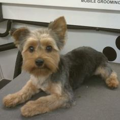 39 Best Yorkie Hairstyles Images On Pinterest Doggies Cubs And