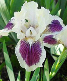 Iris 'Black Cherry Delight'