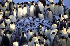 Penguins - Spy In The Huddle follows emperor penguins in Antarctica, rockhopper penguins on the Falkland Islands and Humboldt penguins in the Atacama Desert of Peru as they bring up their young. Description from dailymail.co.uk. I searched for this on bing.com/images