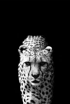 48 Striking Animal Photography Finds - From Displaced Wildlife Candids to Animal Kingdom Captures (TOPLIST) Tier Wallpaper, Animal Wallpaper, Cheetah Wallpaper, 3d Wallpaper Iphone, Iphone Wallpapers, Amazing Animals, Animals Beautiful, Animals And Pets, Cute Animals