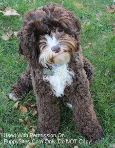 "Blue Skies Australian Labradoodles/ reminds me of my childhood dog ""Teddy Bear"" miss u. Cutest Animals On Earth, Cute Animals, Australian Labradoodle, Miniature Labradoodle, I Love Dogs, Cute Dogs, Dog Mixes, Large Dog Breeds, Goldendoodle"