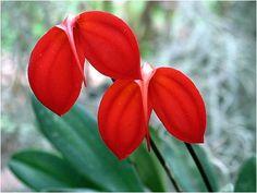 Imagen de flores rojas exoticas  [13-4-16]