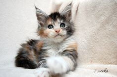 Zeitgeist Maine Coon Cattery http://www.mainecoonguide.com/maine-coon-personality-traits/