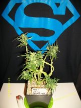 Mi5 I Knot Funny 1 Aug 2013 - cannabis art from Stunted