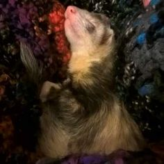 Lost Ferret Hillsborough He is deaf and frail needs to come home asap to be looked after. He has a wobbly walk and is very clumsy but hes super f South Yorkshire January 28, South Yorkshire, Animal Control, Ferrets, Find Pets, Losing A Pet, Pinterest Marketing, Livestock, Guinea Pigs