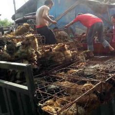 """URGENT!!! BE A VOICE FOR THE VOICELESS!!!! HELP STOP THE YULIN DOG MEAT FESTIVAL!  PLEASE!  By filling out this ONE form and clicking """"send"""" you will be emailing this letter to over 200 Chinese Embassies Worldwide - http://asiaforanimals.com/yulin-dog-festival  PLEASE SIGN AND SHARE WIDELY!"""