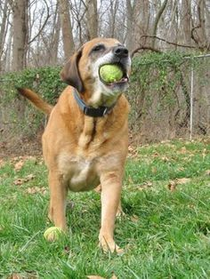 Jumping Jack Flash - URGENT - MARION COUNTY HUMANE SOCIETY in Fairmont, WV - 8 year old Neutered Male Lab Retriever/Shepherd Mix - AT SHELTER 3 YEARS SO LET'S GET HIM ADOPTED - A very sweet boy who could play all day! He loves walks and be with you. Tennis balls are his absolute favorite! He never acts his age and is full of puppy energy. He has been at the shelter for 3 years and is patiently waiting for his furever home.