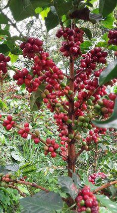 Cafetal fertilizado con BRETOL 500 COLOMBIA