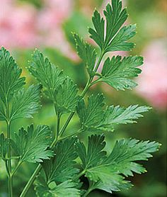 Parsley, Italian Essence , large and very flavorful