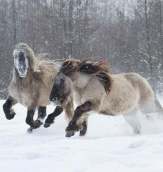 Highland Ponies in Poland